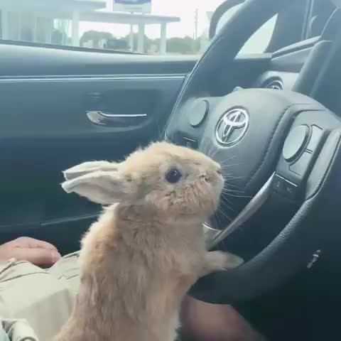 Watch this bunny GIF by vani  (@uncommonvanilla) on Gfycat. Discover more bunniesofinstagram, bunniesworldwide, bunny, bunnystagram, car, cutebunny, cutepetclub, instapet, kawaii, lionheadbunny, miffy | nyc model bunny, miffylover, petstagram, rabbit, rabbitsofinstagram, toyota, usagi, weeklyfluff, 侏儒兔, 獅子兔 GIFs on Gfycat