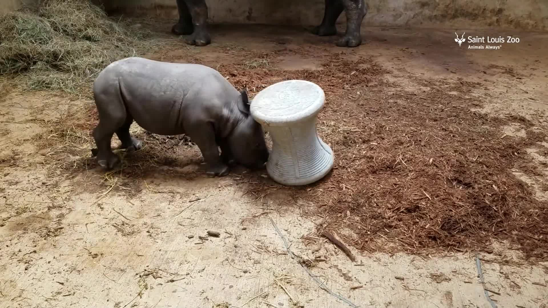 Saint Louis Zoo, baby animals, endangered, rhino, Black rhino calf Moyo plays at Saint Louis Zoo GIFs