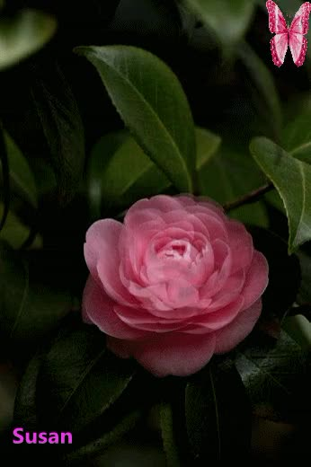 Watch and share Flor Rosa Abriendose GIFs by Susan on Gfycat