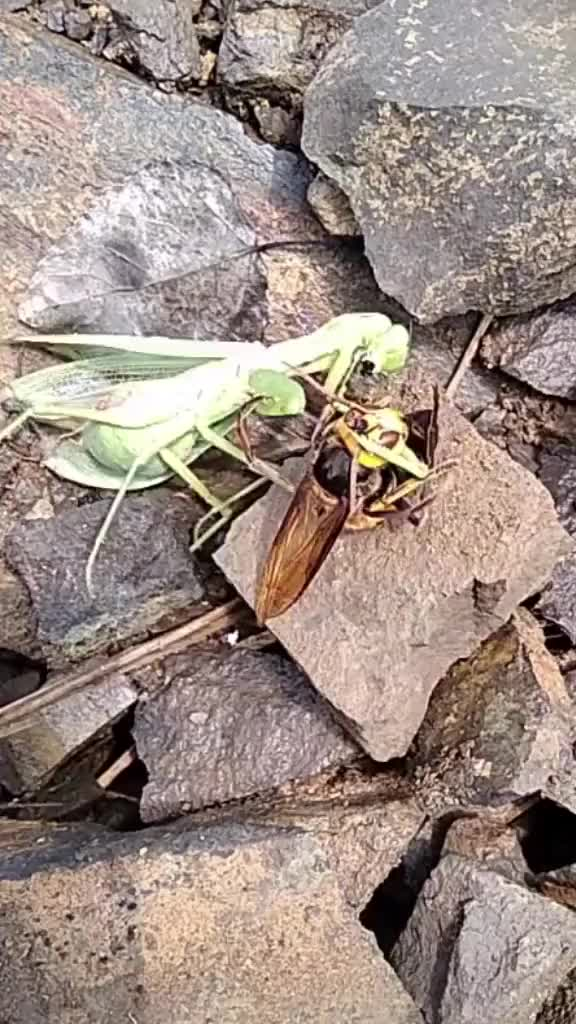 Mantis  fighting with wasp GIFs