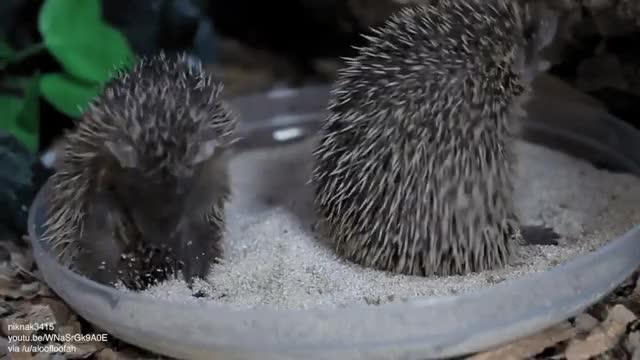 Watch and share Tenrecshaving A Sand Bath GIFs on Gfycat