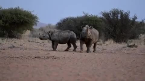 Watch and share African Wild Dogs Attacking A Rhino And Her Calf GIFs by Pardusco on Gfycat