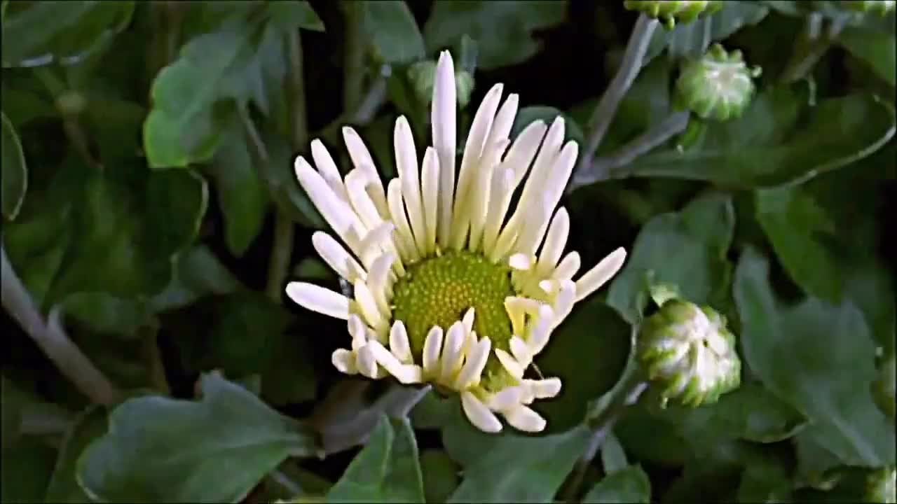 Flowers, daisy, flower, flowers, video, vlog, Flowers can Dance Music video GIFs