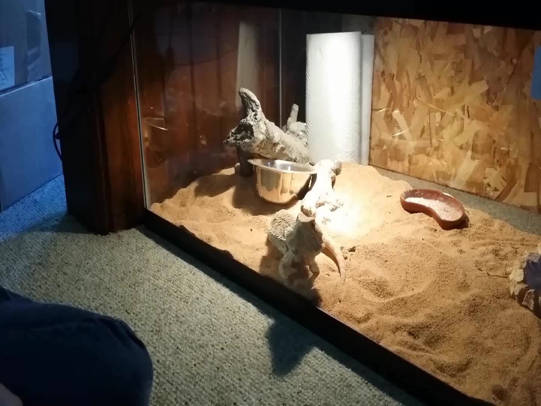 animalsbeingderps, Sandwich Lizard GIFs