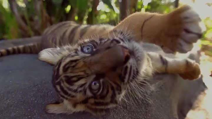 animal, animals, cat, tiger, tigress, 🐅 tiger  🐯 tiger face GIFs