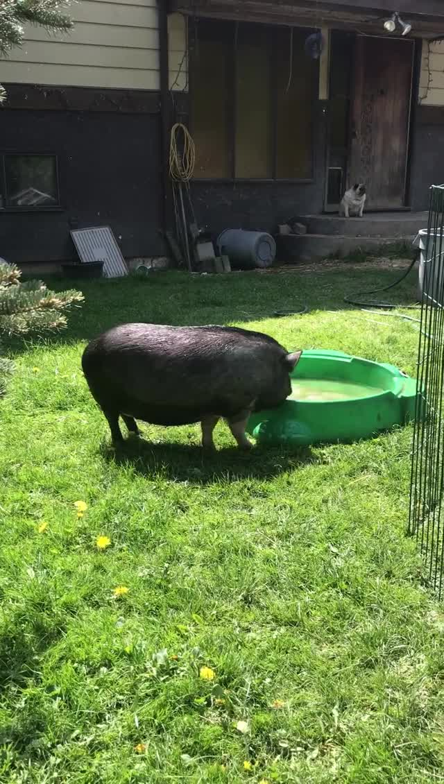 Watch and share Piggy Pool Party At Little Oink Bank Pig Sanctuary GIFs on Gfycat