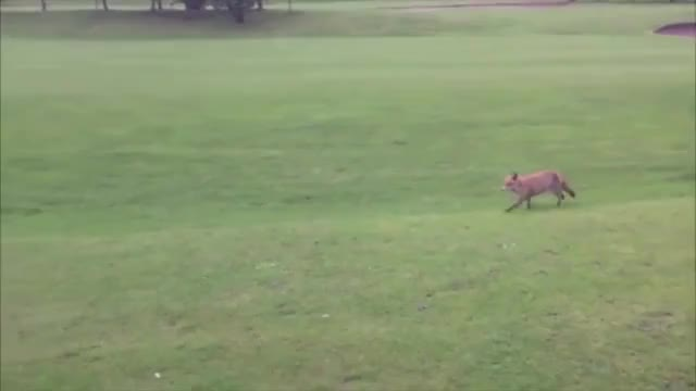 Watch and share Golf GIFs and Fox GIFs by slap-and-pop on Gfycat