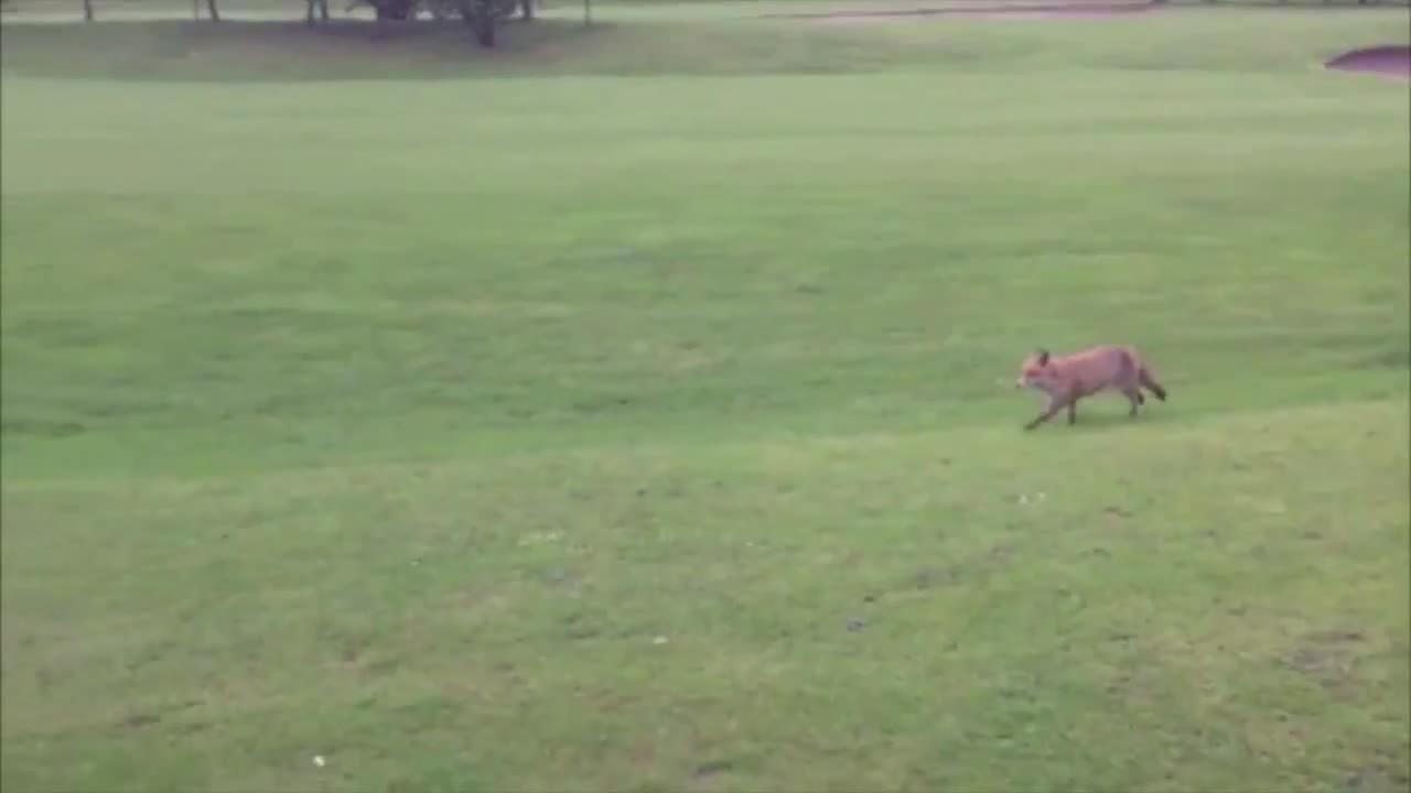 fox, golf, smashbros, Fox GIFs