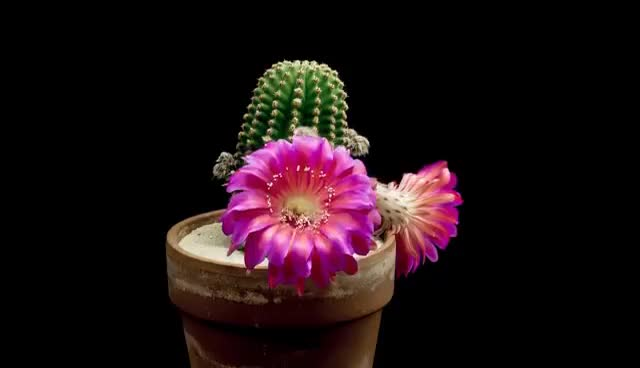 Watch and share Freaky Flowers - Echinopsis Cacti In Bloom GIFs on Gfycat