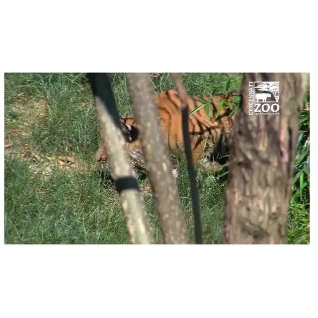 Watch Video by cincinnatizoo GIF by @awkwardtheturtle on Gfycat. Discover more awkwardtheturtle GIFs on Gfycat