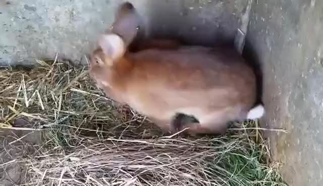 Watch Rabbits mating GIF on Gfycat. Discover more related GIFs on Gfycat
