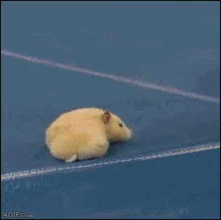 Watch and share How To Flatten A Hamster. GIFs on Gfycat