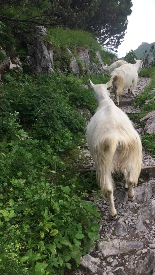 Watch and share Swiss Goats GIFs on Gfycat