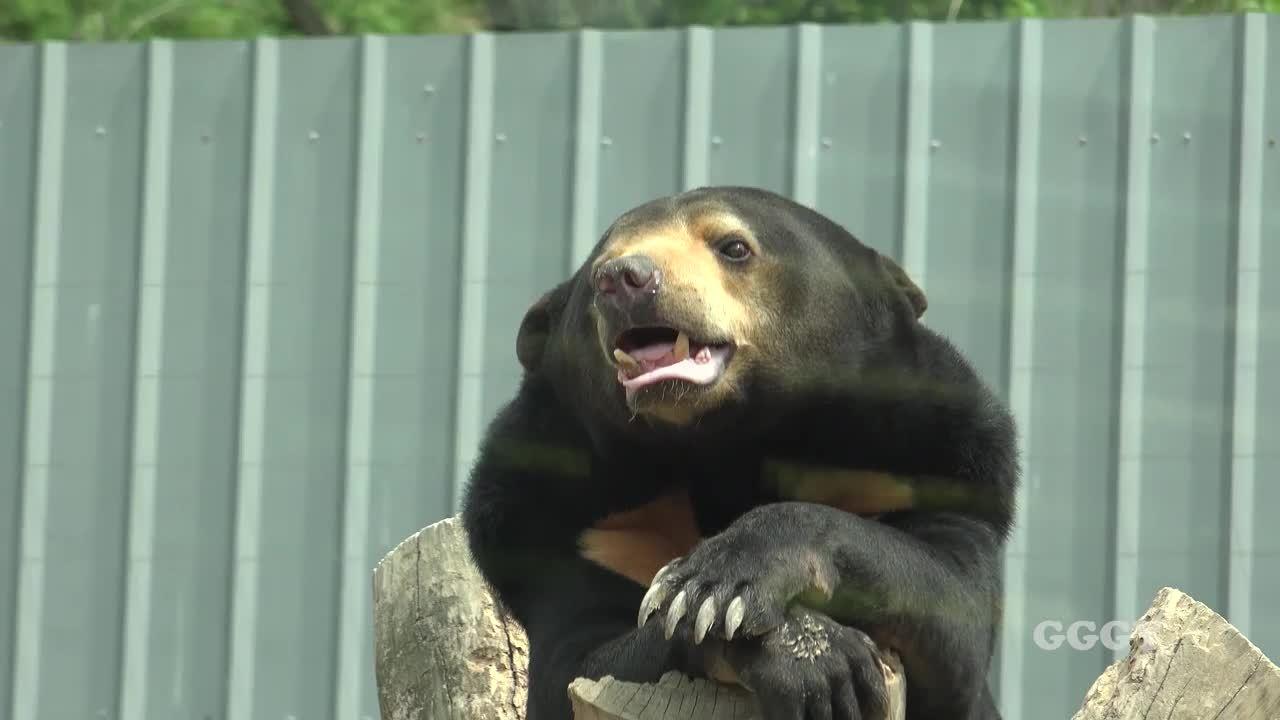 Awwducational, shestillsucking, weakpots, the majestic Sun bear (reddit) GIFs