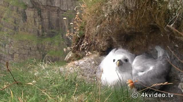Watch and share Fulmar Defending Itself GIFs by Pardusco on Gfycat