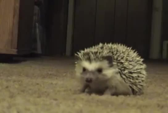 Watch this hedgehog GIF on Gfycat. Discover more animals, hedgehog GIFs on Gfycat