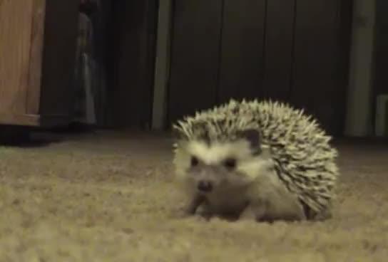 animals, hedgehog, hedgehog GIFs