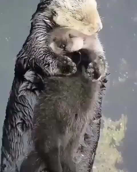 Watch and share Otter GIFs and Aww GIFs on Gfycat