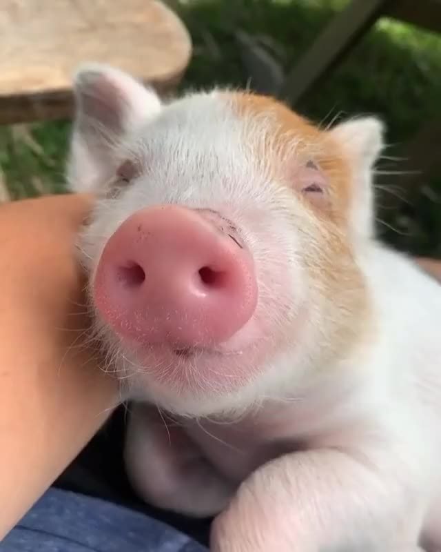 Watch and share Pig Sleeping GIFs and Sleep GIFs by lnfinity on Gfycat