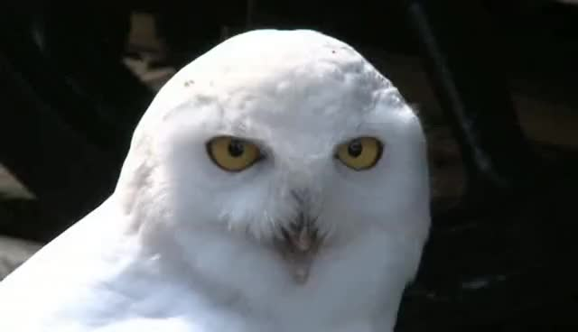 Watch and share Snowy Owl GIFs and Surprised GIFs on Gfycat