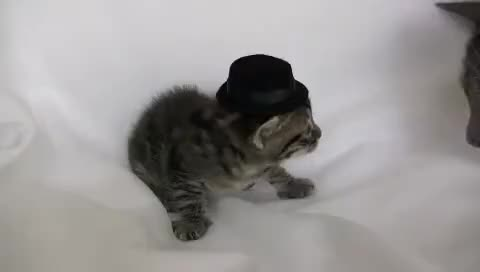 Watch and share Cat GIFs and Hat GIFs on Gfycat