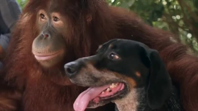 Watch Orangutan Adopts A Dog | Wild Things GIF on Gfycat. Discover more Chimpanzee, Dog, Friends, Friendship, animal, animals, cute, english, facebook, hd, orangotang, orangutan, orangutang, wild, wildlife GIFs on Gfycat