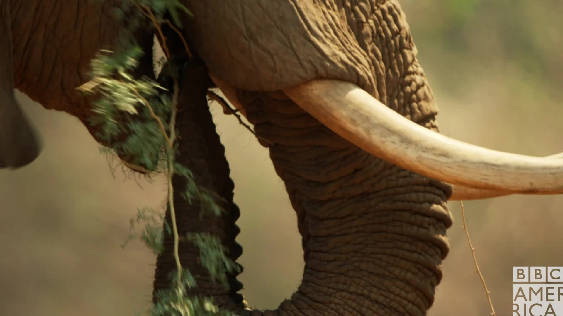 animal, animals, bbc america, bbc america dynasties, bbc america: dynasties, dynasties, eating, elephant, food, hungry, painted wolf, painted wolves, wolf, wolves, Dynasties Hungry Elephant GIFs