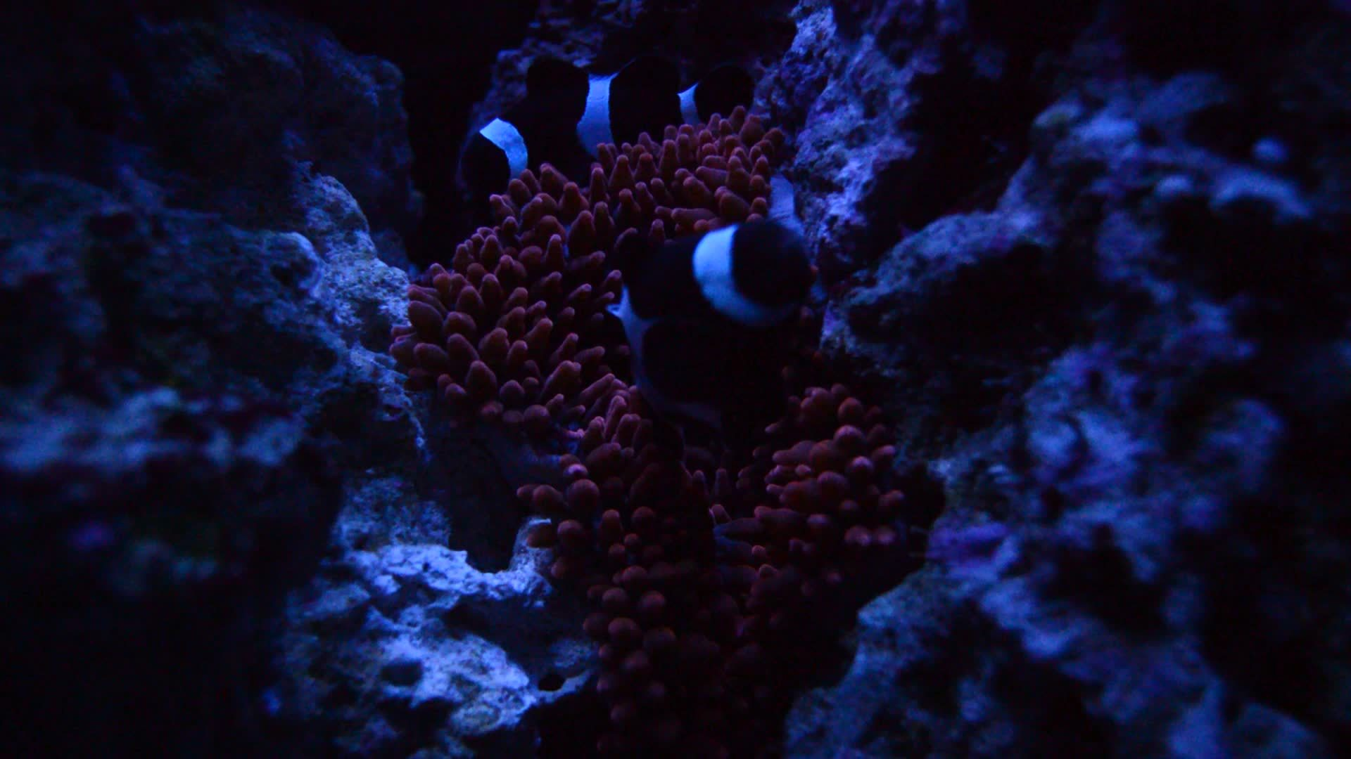 aquariums, reeftank, Clownfish settling in for the night. GIFs
