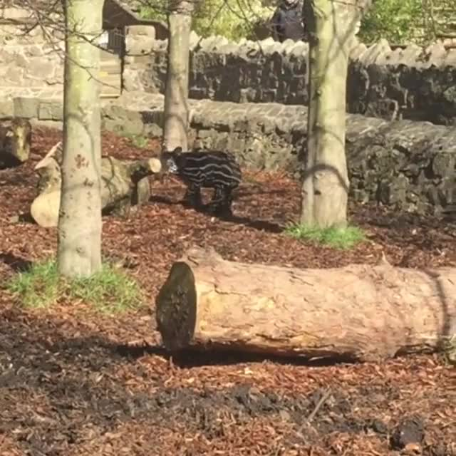 Watch Baby tapir at Edinburgh Zoo (Source @suzsparkling on Instagram) GIF on Gfycat. Discover more edinburghzoo, tapir GIFs on Gfycat