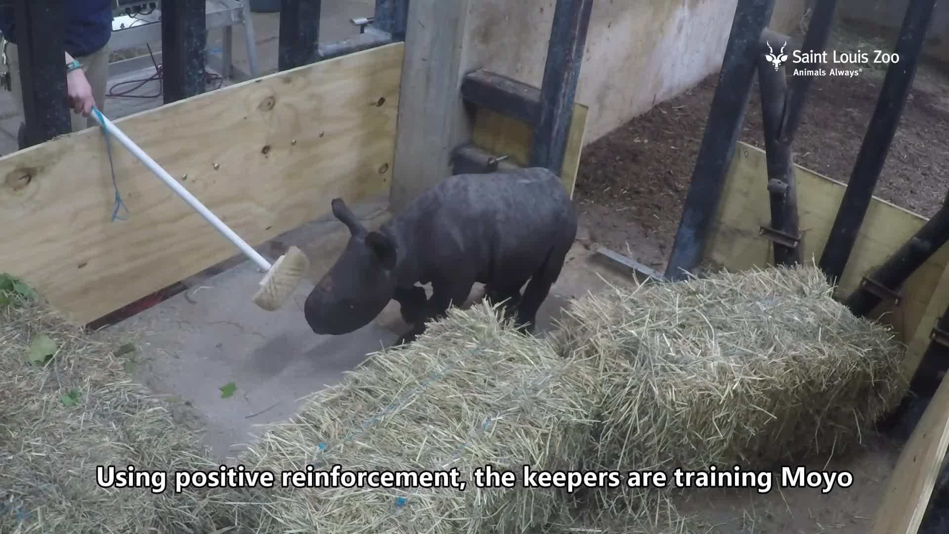 Black rhino calf Moyo gets weighed at Saint Louis Zoo GIFs