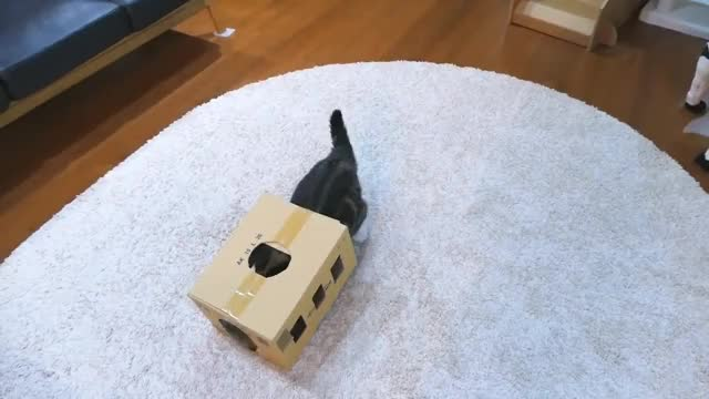 Watch 箱を愛しすぎなねこ。-Because Maru loves the box too much,- GIF on Gfycat. Discover more cat, kitty, maru, pets GIFs on Gfycat