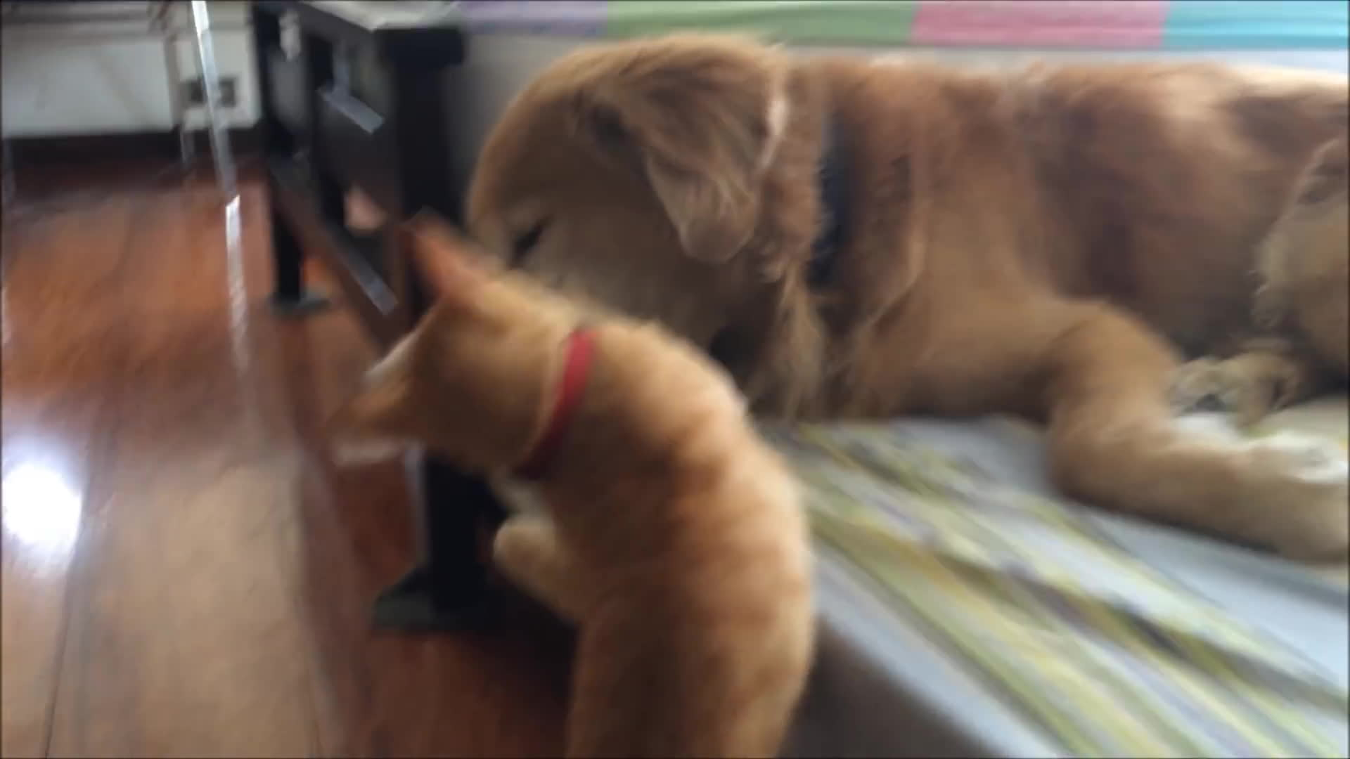 CatTaps, dog (domesticated animal), kitten (animal), Kitten Growing up with Dog Best Friend GIFs