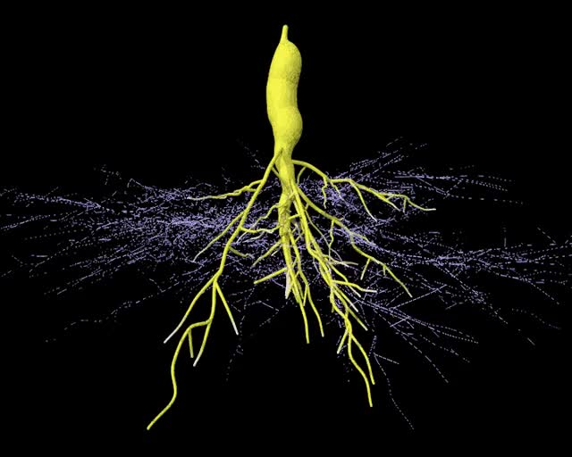 Watch and share Arbuscular Mycorrhizal Root Tuber GIFs on Gfycat