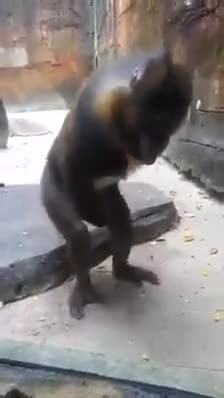 Watch this not safe for work GIF on Gfycat. Discover more WTF, monkey, weird GIFs on Gfycat