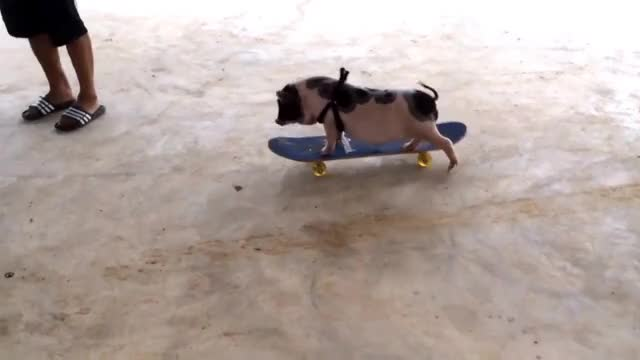Watch this animal GIF on Gfycat. Discover more animal, animals, pig, pigs, skateboarding GIFs on Gfycat