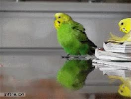 Watch and share #budgiegif GIFs on Gfycat