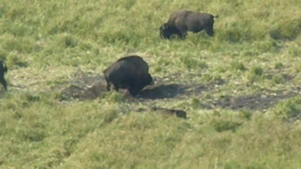 naturegifs, Buffalo (reddit) GIFs