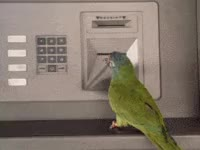 Watch bird, pet, pets, animal, budgie GIF on Gfycat. Discover more related GIFs on Gfycat