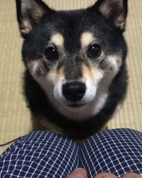Watch and share Shibainu Aco(吾子) GIFs and Dogstagram GIFs by mayaxs on Gfycat