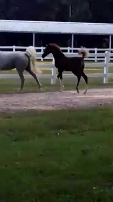 Watch and share Arabian GIFs and Horse GIFs on Gfycat