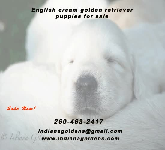 Watch and share Cream Retriever GIFs by Indiana Goldens on Gfycat