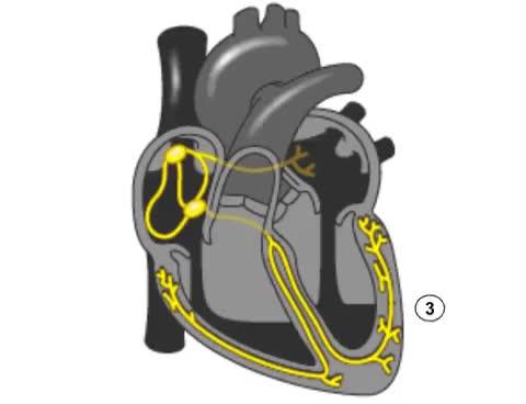 Watch and share Sistema De Conducción Eléctrica Del Corazón GIFs on Gfycat