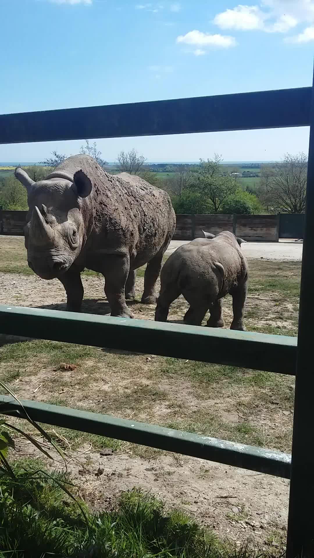 Rhino baby rhino zoo charging protect protecting scary so cl, Mum rhino charging to protect baby. GIFs