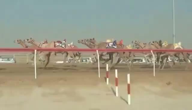 Watch and share Camel Racing With ROBOT JOCKEYS -- Abu Dhabi, UAE GIFs on Gfycat