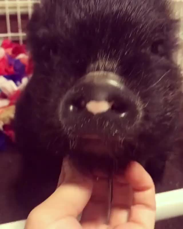 Watch and share Baby Animals GIFs and Piglet GIFs by cakejerry on Gfycat