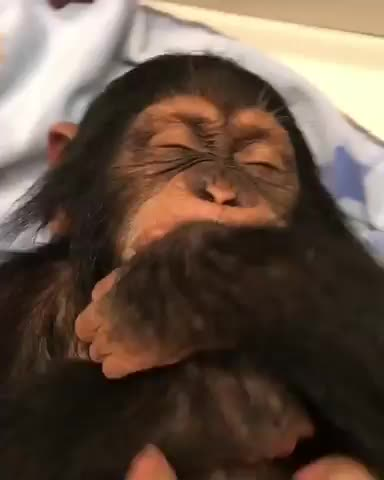 baby, chimp, gorilla, gorrilla, laugh, laughing, laughs, little, monkey, tickled, Super Cute Monkey Gets Tickled GIFs
