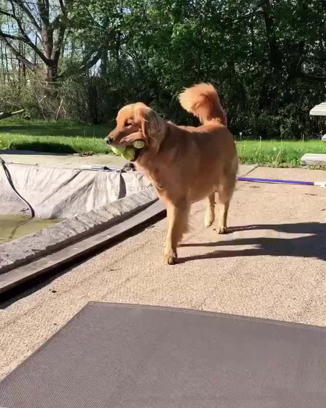 Watch and share Good Boy Is An Expert At Retrieving GIFs by tothetenthpower on Gfycat