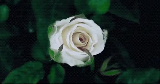 Watch and share Blossoming GIFs and White Rose GIFs on Gfycat