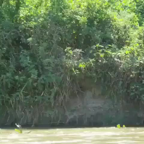 Watch and share Capybara Jumps Into A River To Evade A Jaguar GIFs by Pardusco on Gfycat