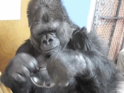 todayilearned, Koko: deal with it! GIFs